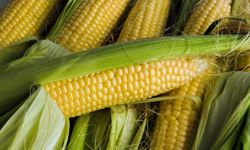 There are corn fields all across the United States, but if you're thinking of growing it, there are some decisions you need to make.