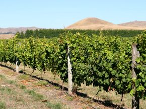 The Hawke's Bay region of New Zealand is a major grape growing and winemaking area, coming in second for overall wine production within the country. See our collection of wine pictures. 