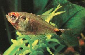 © Aaron Norman                              Head and Tail Light Tetra -- hemigrammus ocellifer                                            See more Aquarium Fish Image Gallery.