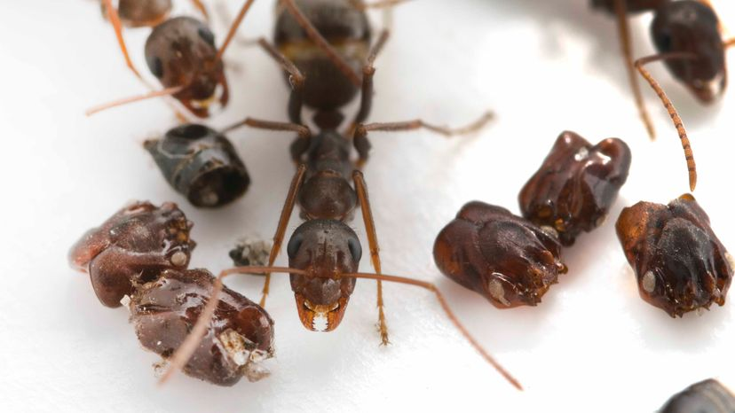 headhunter ants, scent