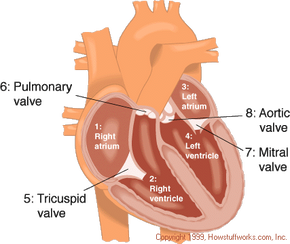 The four chambers of the heart