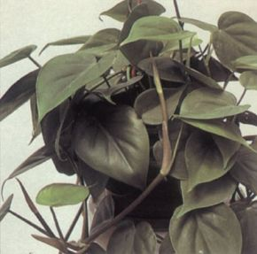Heartleaf philodendron makes a hearty house plant. See more pictures of house plants.