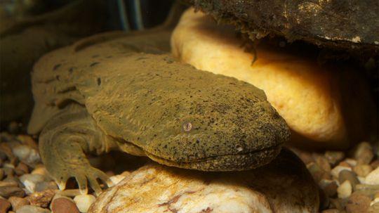 The Huge Hellbender Salamander, or 'Snot Otter,' Needs Our Help