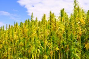 Is hemp the energy of the future? Check out these alternative fuel vehicle pictures to learn more!