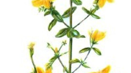 Herbal Remedies for Varicose Veins