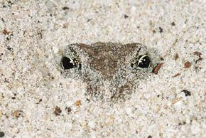 The cape sand frog uses its hind legs to burrow into the sand, where it hibernates during the South African winter.