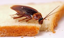 Cockroaches are the most successful insect species in the United States.