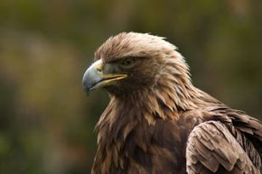 If you're lucky, you may get to see a red-tailed hawk in person while you're hiking the Santa Rosa plateau.