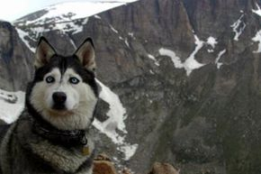 This Siberian husky is happy hiking in the mountains in cold weather, but not all dogs would be.