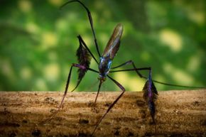 This colorful mosquito is called Sabethes cyaneus. Some species from the Sabethes genus are a reservoir for yellow fever. Carlos Juan Finlay first connected mosquitoes to yellow fever back in the 19th century.