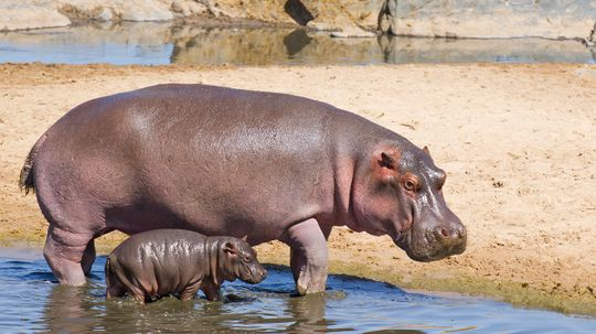 Is hippo milk really pink?