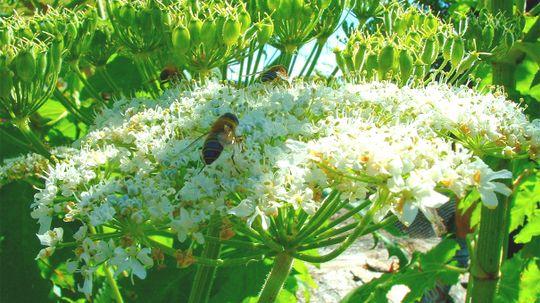 Giant Hogweed's Sap Can Give You Sunburn