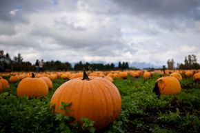 Can pumpkins save the world? See more pumpkin patch pictures.