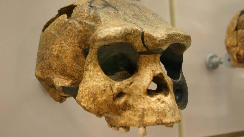 Homo erectus, lazy