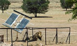 Even the lions in Africa seem to have gotten used to solar power.
