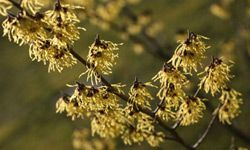 """Extracts from witch hazel have long been used in skin care, but probably never had anything to do with witches. The plant's name is thought to have come from the Old English verb """"wice,"""" meaning """"to bend,"""" which is a good descriptor of the plant's branches."""