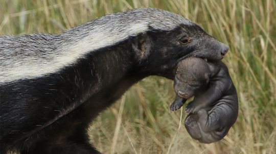 Honey Badgers Don't Care Because They're Ferocious