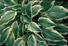 Hosta fortunei is the name of a groups of hostas -- some have solid colored leaves, while others have variegated ones.