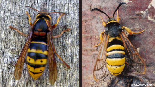Batesian Mimicry: How Copycats Protect Themselves