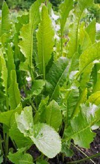 The horseradish plant can grow up to 30 inches high. See more pictures of horseradish and horseradish recipes.