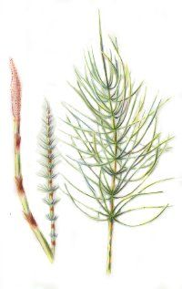 ©2007 Publications International Horsetail is used in herbal remedies for bladder conditions, and to strengthen bone.
