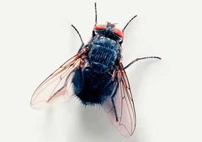 A housefly's wings are delicate instruments -- perhaps you've seen a housefly cleaning them. This is because even the smallest piece of food caught on the wing's thin surface can throw a fly off balance during flight.