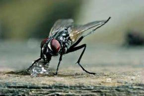 A housefly uses its proboscis to eat a piece of sugar.