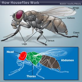 Housefly anatomy