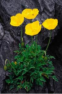 This arctic poppy makes a great rock garden flower.