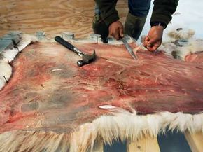 An Inuit hunter uses a knife to prepare the skin of a polar bear that starved to death.