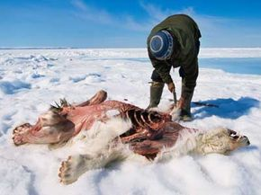 An Inuit hunter skins a polar bear that starved to death.