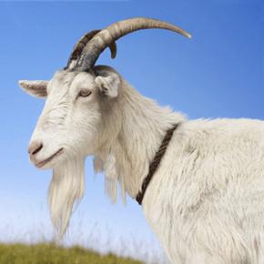 Goat hair makes surprisingly good makeup brush bristles.