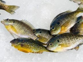 Panfish lay on ice of lake in Michigan.