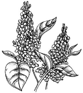 Flower Image Gallery Learn how to draw a lilac and other flowers and plants with our step-by-step instructions. See more pictures of flowers.