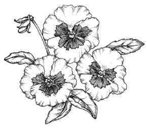 Flower Image Gallery You can learn how to draw this pansy. See more pictures of flowers.
