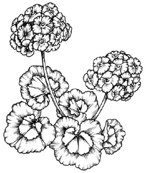 Flower Image Gallery Learn how to draw a geranium and other flowers and plants with our easy instructions. See more pictures of flowers.