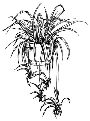 Flower Image Gallery You can learn how to draw this spider plant in a few easy steps. See more pictures of flowers.