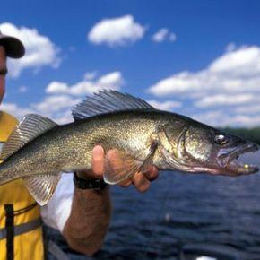 Man with Walleye, Northern Ontario Lake