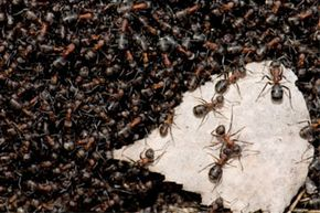 Ants outnumber humans by an impressive margin. See more pictures of insects and biodiversity.