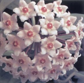 Hoya bears fragrant clusters of pink or white flowers. See more pictures of house plants.