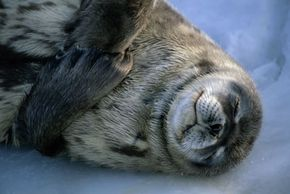 All mammals need sleep to survive, including the Weddell seal.