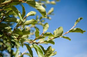 For centuries, Australian natives have used tea tree oil as a natural antiseptic.