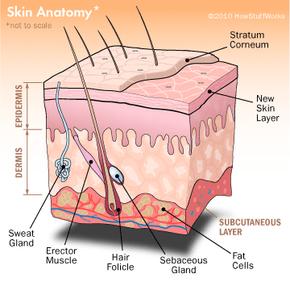 Illustration of Sweat Glands