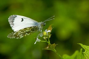 An orange tip  butterfly rests on a garlic mustard plant, the host for its larva. Insects have an amazing knack for survival.