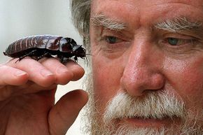 Dr. Harley Rose, Australia's leading evolutionary biologist in native cockroaches, admires 'Keith Richards,' the world's largest cockroach, at his laboratory at the University of Sydney.