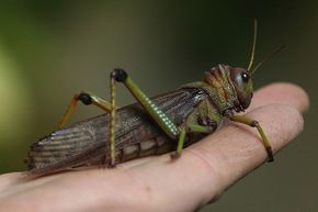 A giant grasshopper rests on the hand of a zookeeper during the annual animal inventory at Zoo Berlin.
