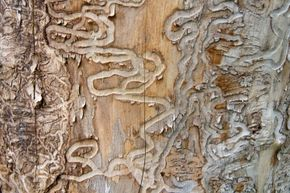 You're looking at the handiwork of an emerald ash borer beetle on a now dead ash tree from Michigan. The invasive beetles have killed tens of millions of ash trees across the U.S. and Canada.