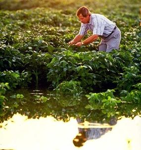 The plant absorbs carbon dioxide from the atmosphere, draws water up through its roots and uses light to photosynthesize sugars, which it uses as food. It excretes oxygen as a by-product of the process. Without water, photosynthesis cannot take place. Agronomist Larry Heatherly examines early maturing variety of soybean plants growing in a flood-irrigated field in Mississippi.