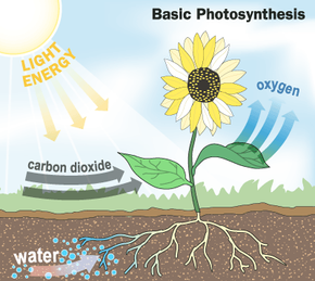 Plants use the sun to make food, and Superman uses the sun to make super powers.