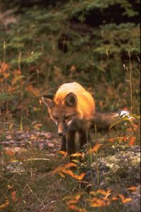 National Parks Image Gallery Wary and largely nocturnal, red foxes are seldom seen by hikers. Once hunted for their fur, the animals are now protected within park boundaries. See more pictures of national parks.